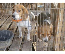 10 month old male beagle puppies for sale