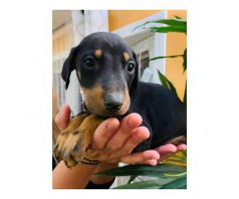 7 beautiful baby Doberman pinscher looking for a loving home
