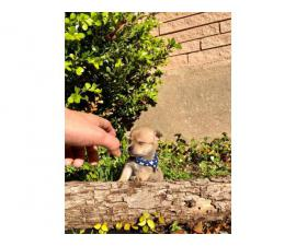 4 miniature chihuahua puppies available