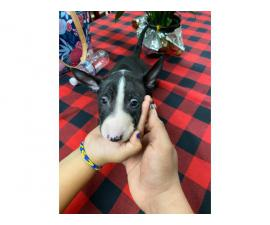 2 boys 1 girl bull terriers puppy's for sale