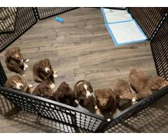 Red Tri Aussie Puppies up for sale