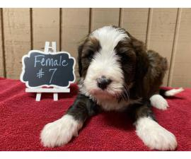 Bernedoodles for rehoming