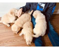4 boys Golden retrievers puppies