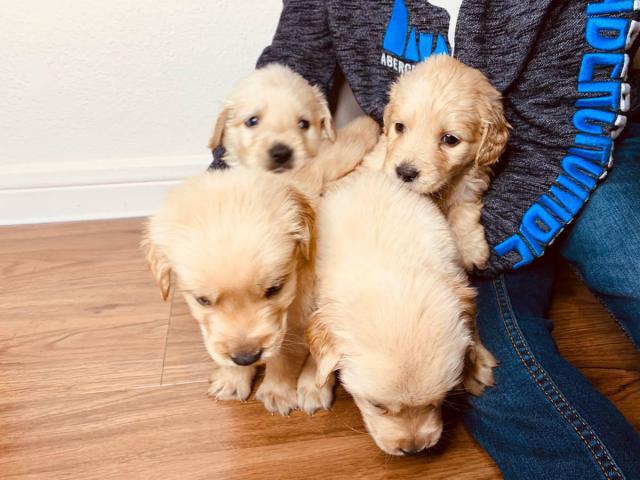 4 boys Golden retrievers puppies in Houston, Texas