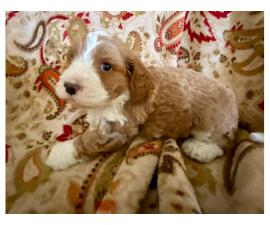 Cockapoo male puppy for sale