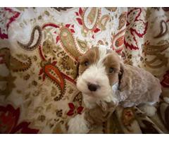 Cockapoo Male Puppy For Sale In Orange California Puppies For Sale Near Me