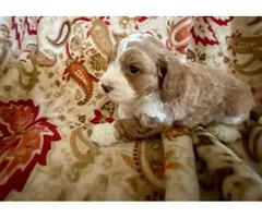 Cockapoo male puppy for sale