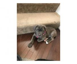 11 week old female Cane Corso puppy with blue eyes