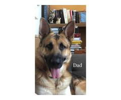 FullbloodedGerman Shepherd puppies for adoption
