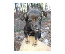 One male Chiweenie puppy Available for rehoming