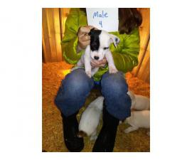 2 purebred Jack Russell Puppies for adoption