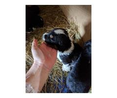 English Shepherd puppies nine girls, and four boys
