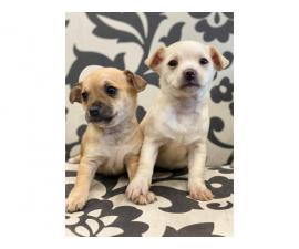 2 brown and white female chihuahua puppies