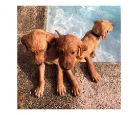 Red Lab puppies for sale