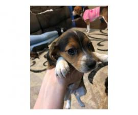 7-week-old Tricolor Beagle puppies