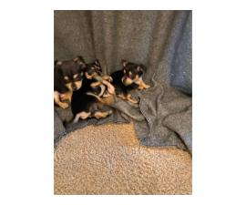 8 Week Old Toy Size Chihuahuas