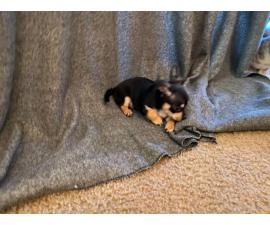 8 Week Old Toy SizeChihuahuas