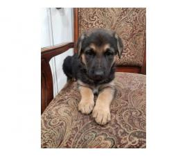 3 female German sheperd puppies looking for new home