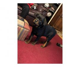 Stunning German Rottweiler bloodline boy puppy