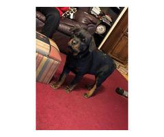 Stunning German Rottweilerbloodline boy puppy