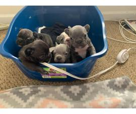 Micro French Bulldog Puppies