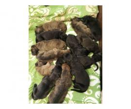 Full-blooded Great Dane puppies
