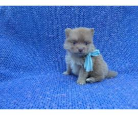 Purebred Pomeranian Puppies with a health guarantee
