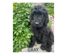 11 weeks old beautiful male Labradoodle puppies