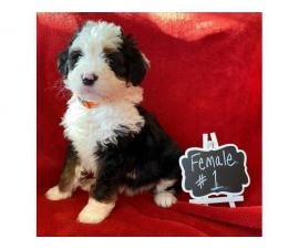 8 weeks old CKC registered Bernedoodles