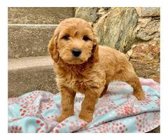 Precious mini golden doodle puppies