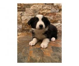 4 Black and White Border Collies available
