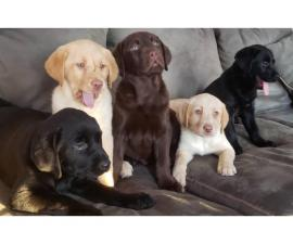 Purebred Chocolate, Black and Yellow lab puppies for sale
