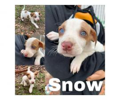 Gorgeous litter of Beagle / husky-mix puppies