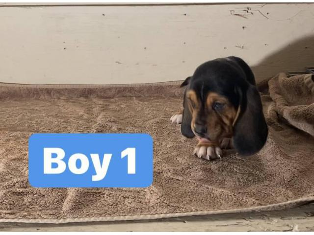 3 Purebred Basset Hound Puppies For Sale In Sacramento California Puppies For Sale Near Me