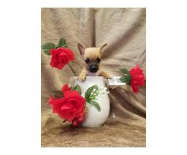Male and female Pure-bred teacup chihuahua puppies