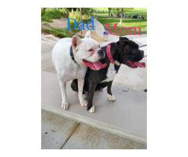 2 pretty Boxer female puppies available