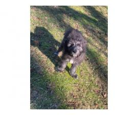One male Irish Wolfhound Puppy for rehoming