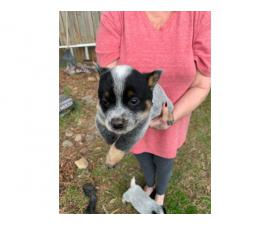 4 blue heeler puppies ready to find their forever home
