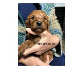 Standard Goldendoodle puppies for adoption