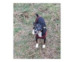 Registered Miniature Pinscher puppy