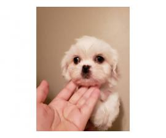 Fluffy 9 weeks oldShih tzu puppies