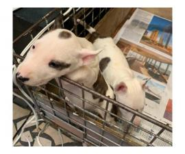 3 females Bull terrier puppies available