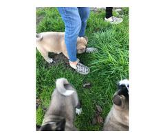 4 females Akita puppies