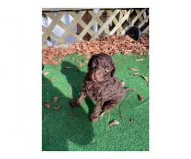 6 lovely standard Poodles for sale