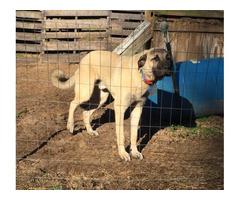 1 yr old MaleAnatolian Shepherd for adoption