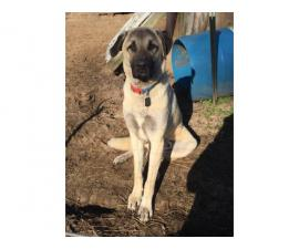 1 yr old Male Anatolian Shepherd for adoption