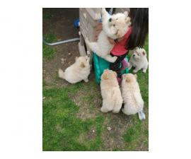 4 Chow Chow Puppies Left