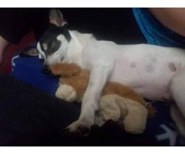 3 years old Jack Russell / Chihuahua for Sale