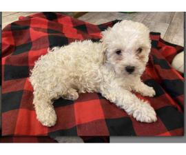 One female Shih-Poo puppy available