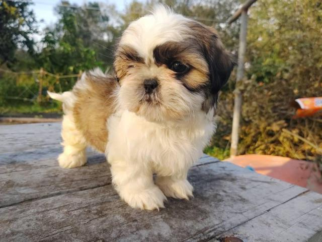4 Male Shih Tzu Puppies For In